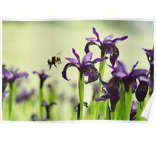 Iris Bee Poster