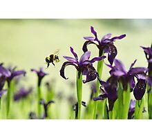 Iris Bee Photographic Print