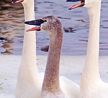 Swans With Attitude by Robert  Mackert