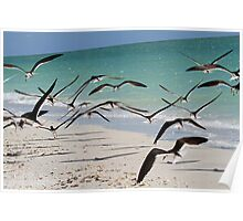 A flock of skimmers in flight Poster