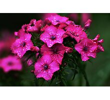 Pink blossoms with drops Photographic Print