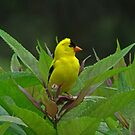 Young Male American Goldfinch! by swaby