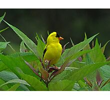 Young Male American Goldfinch! Photographic Print