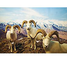 Horned Ram  Photographic Print