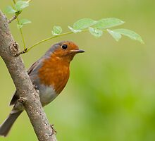 Robin in the rain by M.S. Photography & Art