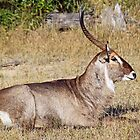 Peaceful waterbuck by jozi1