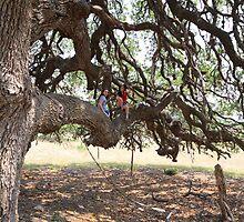 Large Live Oak by Colin Bester