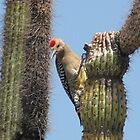 Gila Woodpecker ~ Male by Kimberly P-Chadwick