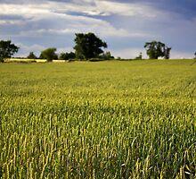 Wheat Fields by Nicholas Jermy