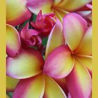 Frangipani Selection - Photographer Jono Johnson by jono johnson