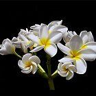 Common Cream Frangipani - Bouquet of Love by jono johnson