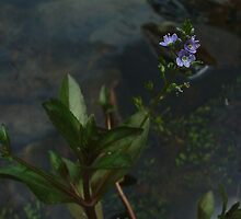 Water speedwell, Veronica anagallis-aquatica by orkology