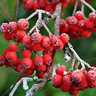 Frosted Berries by M.S. Photography/Art