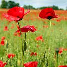 Poppies by vivsworld