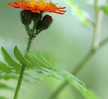 Orange Hawkweed and Wood Fern by T.J. Martin
