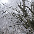 Icy old beech trees by Jane Corey