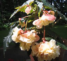 """Pink Blush Scentiment"" Begonia by Pat Yager"