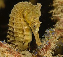 White's Seahorse - Hippocampus whitei by Andrew Trevor-Jones