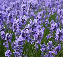 LOVELY LAVENDER by AnnDixon