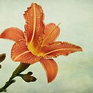 day lily by Iris Lehnhardt