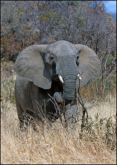 Annoyed Female Elephant by ten2eight