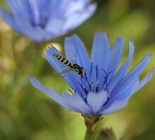 Common Chicory by marens