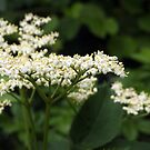 Little White Elderberry Flowers by Linda  Makiej