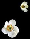 Wild Anemone - Ontario by Debbie Pinard