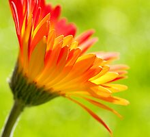Flower in the Sunshine by Natalie Kinnear