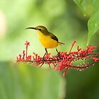 Yellow Bellied Sunbird by Jenny Dean