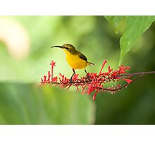 Yellow Bellied Sunbird Photographic Print