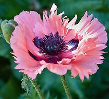 Pink Poppy by PhotosByHealy