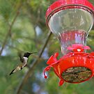 Ruby Throated Hummingbird by Chuck Zacharias
