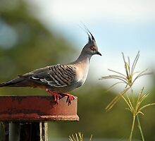 Crested Pigeon. Brisbane, Queensland, Australia. (6) by Ralph de Zilva