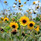 Sunflowers by guppyman