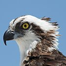 Osprey portrait by jozi1