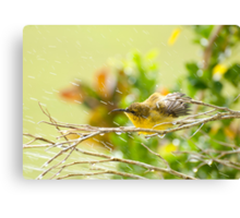 Raindrops keep falling - sunbird bathing. Canvas Print