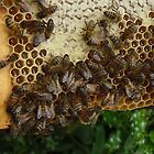 Honey bees on the frame by Sue Payne