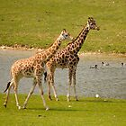 Giraffes  by chris-kemp