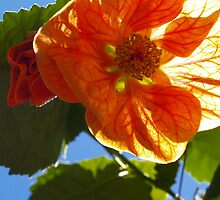 "The Abutilon ""Cristina"" by the57man"