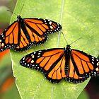 Monarch Twins by Larry Trupp