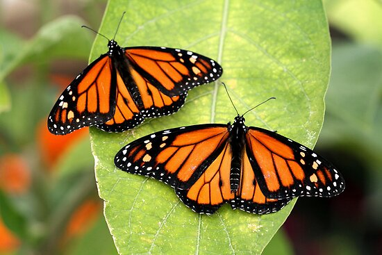 Monarch Twins by Larry Trupp