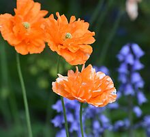 A Touch of Orange... by Carol Clifford
