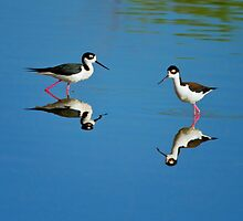 Black Necked Stilts by John Absher