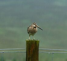 Snipe On A Rainy Day In Sutherland by Jamie  Green