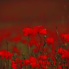Poppy flowers... by LadyPixbo