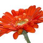 Orange Daisy Gerbera Flower  by Pixie Copley LRPS