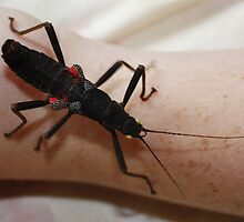Black Beauty Stick Insect by AnnDixon