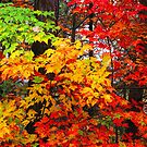 AUTUMN MAPLES,FOOTHILLS PARKWAY by Chuck Wickham