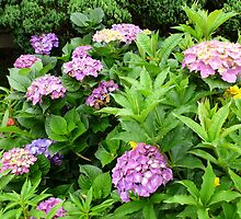 Hydrangea bush by machka